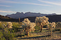 Sonoran desert with Saguaro Cactus (Carnegiea gigantea), Teddy Bear Cholla Cactus (Opuntia bigelovii), Organ Pipe Cactus National Monument, Arizona, USA