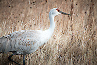 Sandhill Crames at Bosque del Apache National Wildlife Refuge in New Mexico.