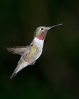 Broad-tailed Hummingbird, Southeastern Arizona