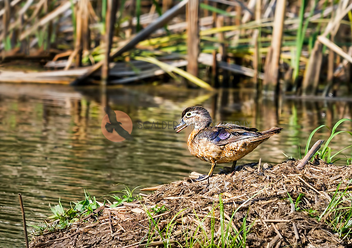 Female Wood Duck standing on bank of pond with beak open