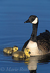 Canada Geese (Branta canadensis) adult with two goslings, New York, USA,<br /> Slide # B24-5101