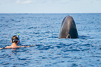Sperm whale (physeter macrocephalus) Eastern Caribbean. Both curious, a swimmer and a sperm whale lift their heads out of the water before approaching each other.