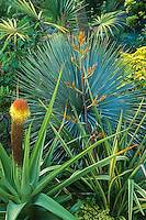 Gray foliage succulent, Yucca rostrata with Kniphofia northiae and flowering Phormium in California cottage garden; design Roger Raiche