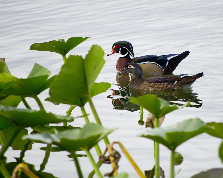 Wood duck drake and hen in lily pads