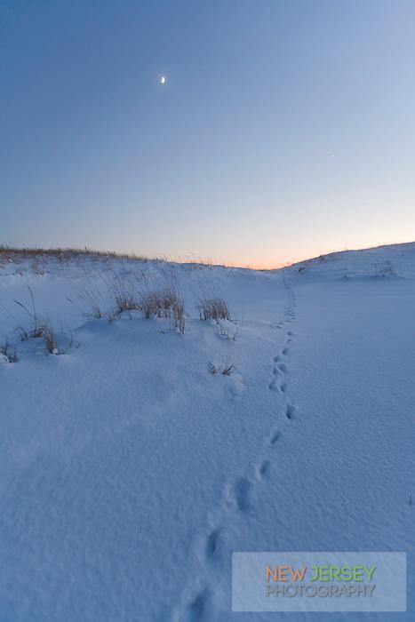 Fox tracks in winter, Island Beach State Park, New Jersey