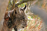 Wild Iberian lynx resting behind boulder,with radio tracking  collar  on neck visible.