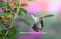 01162-09807 Ruby-throated Hummingbird (Archilochus colubris) female at Cigar Plant (Cuphea ignea)  Marion Co. IL