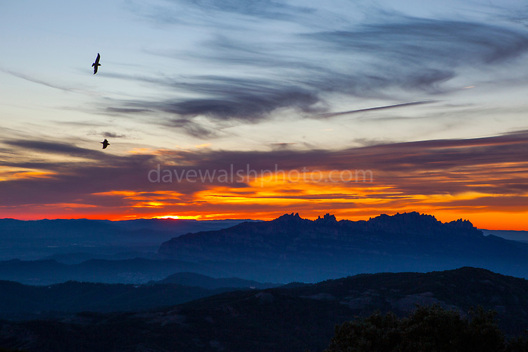 Ravens flying by Montserrat, viewed from La Mola, a mountain in the park of Sant Llorenç del Munt i l'Obac - La Mola, Mountain, Barcelona, Catalonia, Spain