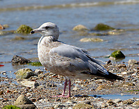 Third-winter herring gull