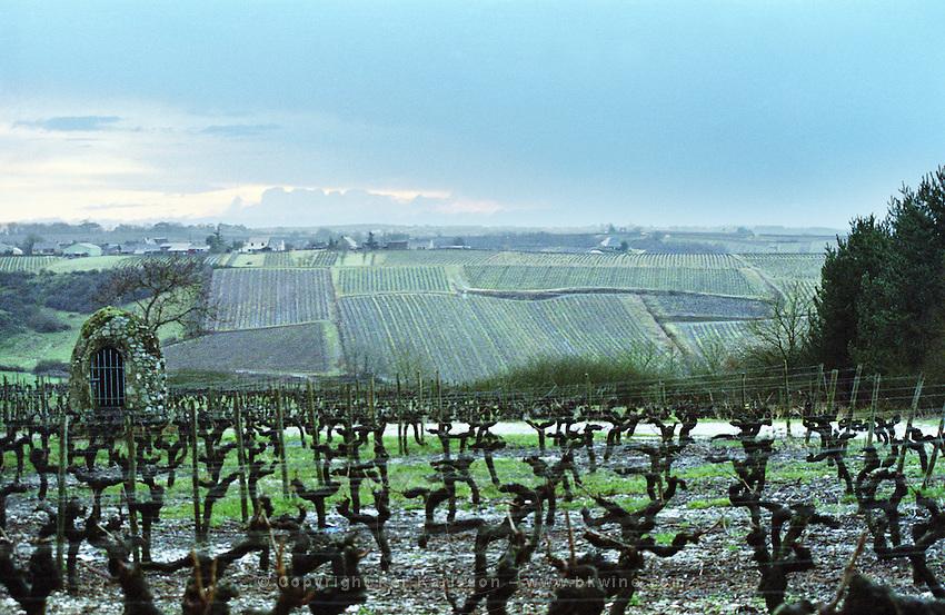Cordon Royat pruned vines in the vineyard. Close to St Aubin de Luigne. Coteaux du Layon, Anjou, Loire, France