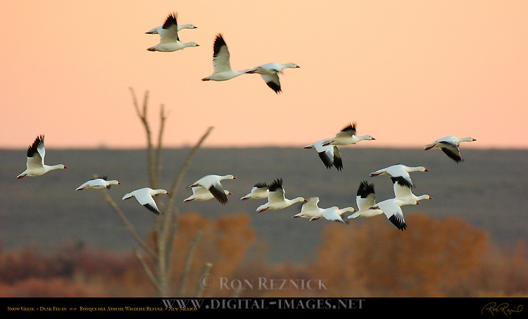 Snow Geese Flying into the Ponds at Dusk, Bosque del Apache Wildlife Refuge, New Mexico