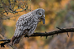 Great gray owl with prey in fall foliage. Grand Teton National Park, Wyoming.