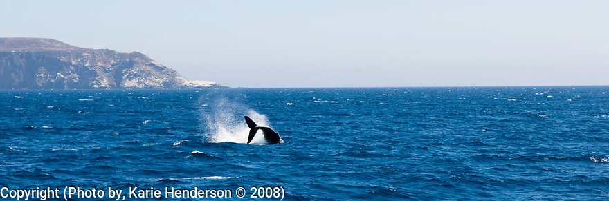 A Humpback Whale, or a Megaptera Novaeangliae, tail also known as their fluke breaches off the coast of Anacapa Island, CA. (Photo by, Karie Henderson © 2008)