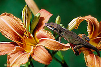 1R06-064a   Green Anole -climbing on lily flower - Anolis carolinensis