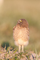 Burrowing Owl (Athene cunicularia) fledgling exploring area close to its burrow