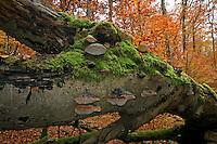 Echter Zunderschwamm, Baumpilz, Fomes fomentarius, Tinder Fungus, Hoof Fungus, Tinder Conk, Tinder Polypore, Ice Man Fungus