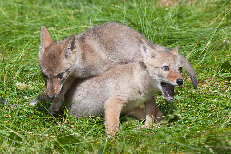 Coyote pups wrestling - CA
