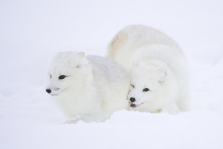 Pair of Arctic Foxes playing in the snow - CA