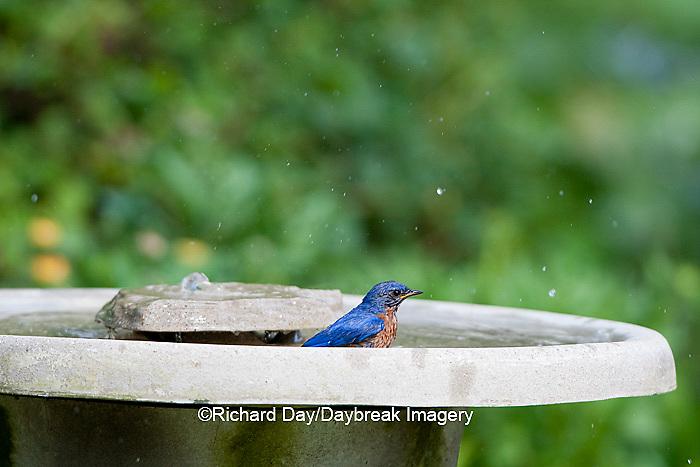 01377-17616 Eastern Bluebird (Sialia sialis) male in bird bath in flower garden, Marion Co., IL