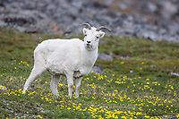 Dall sheep ewes graze on the tundra vegetation, decorated by ross avens, in the Brooks mountain range, Alaska.