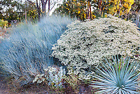 Ephedra equisetina (Blue Stem Joint Fir), Eriogonum giganteum (St. Catherine's Lace), and Hesperoyucca whipplei in Bancroft Garden