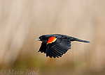 Red-winged Blackbird (Agelaius phoeniceus) male in flight, Montezuma National Wildlife Refuge, New York, USA