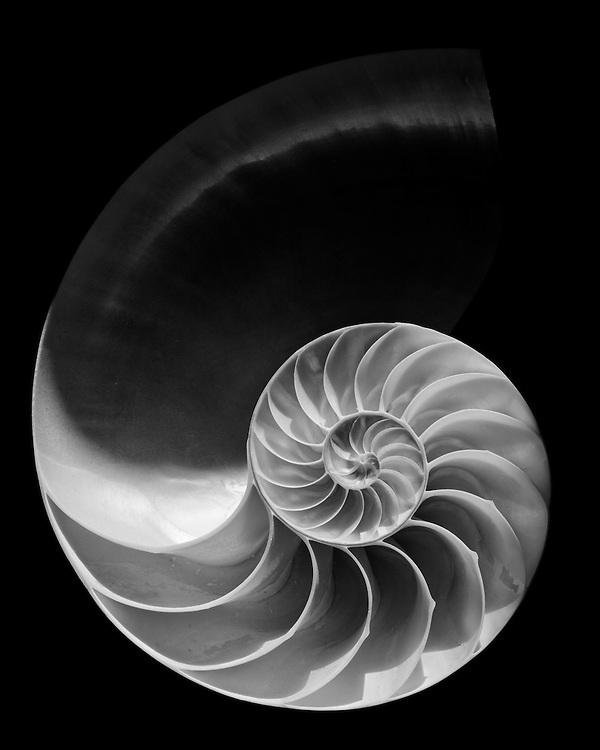 Spiral, Nautilus Shell  2009