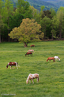 Horses grazing in meadow<br /> Cades Cove<br /> Great Smoky Mountains N.P. TN