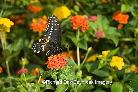 03009-015.16 Black Swallowtail (Papilio polyxenes) male on Red Spread Lantana (Lantana camara) Marion Co.  IL