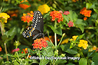 03009-015.16 Black Swallowtail (Papilio polyxenes) male on Red Spread Lantana (Lantana camara) Marion Co.  IL