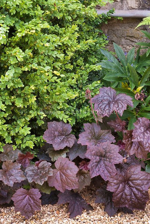 Buxus sempervirens, Heuchera 'Palace Purple', Helleborus, fern, shade plants