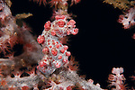 Pygmy seahorse (Hippocampus bargibanti) on a Muricela fan.