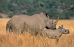 White rhino and calf, Ceratotherium simum, Ithala game reserve, Kwazulu Natal, South Africa
