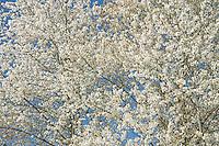 Bitter Cherry Blossoms