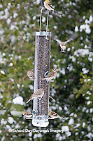 00585-03902 Purple Finch (Carpodacus purpureus) female, House Finch (Carpodacus mexicanus) male & female,  and  American Goldfinches (Carduelis tristis) on sunflower tube feeder in winter, Marion Co., IL