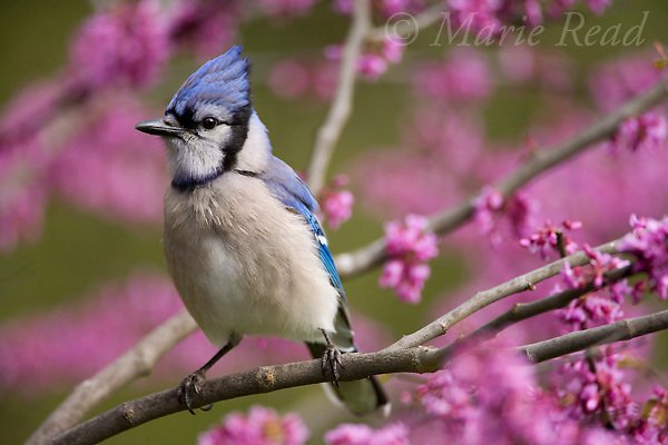 Blue Jay (Cyanocitta cristata) in flowering eastern redbud, New York, USA