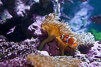 Cherbourg Cité de la Mer  Museo dedicato al mare l'acquario, pesce pagliaccio
