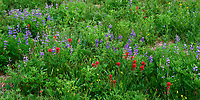 ORCAN_089P - USA, Oregon, Mount Hood National Forest, Mount Hood Wilderness, Paintbrush and lupine display summer bloom in subalpine meadow.