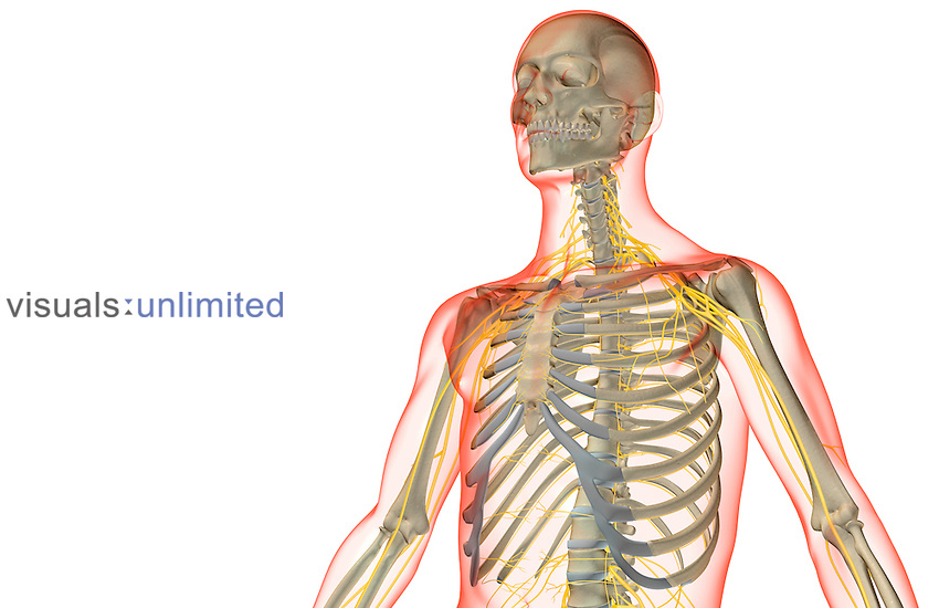 The nerves of the upper body | Visuals Unlimited