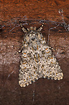 Large Ranunculus Moth, Polymixis flavicincta, UK, mottled pattern on wings