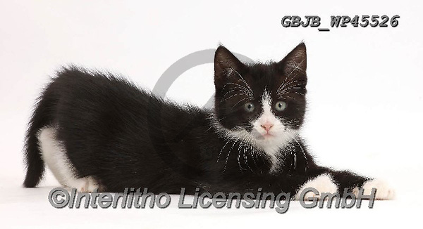 Kim, ANIMALS, REALISTISCHE TIERE, ANIMALES REALISTICOS, fondless, photos,+Black-and-white kitten, Solo, 7 weeks old, lying spread-eagled.,black and white, kitten, lying, spread, eagled, cats, pets, a+nimals, bicolour, kittens, portraits, white background+++,GBJBWP45526,#a#, EVERYDAY