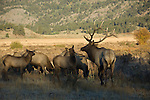 American elk, wapiti, Cervus elaphus, bull, male, rut, wildlife, mammal, ungulate, October, fall, autumn, morning, Moraine Park, Rocky Mountain National Park, Colorado, USA