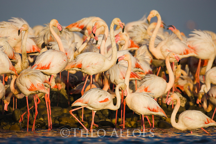 Greater Flamingo (Phoenicopterus roseus), at breeding colony, estimated 10.000 breeding pairs, Camargue, Rhone Delta, France