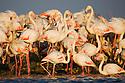 Greater Flamingo (Phoenicopterus roseus), at breeding colony, estimated 10.000 breeding pairs, Camargue, Rhone Delta, France