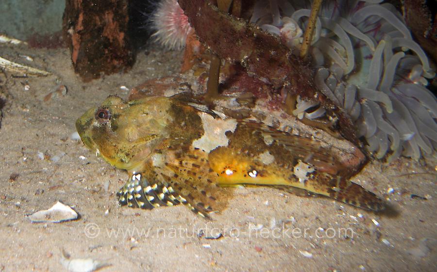 Seebull, Seebulle, Ulk, Taurulus bubalis, Cottus bubalis, Myoxocephalus bubalis, long-spined sculpin, long-spined sea scorpion, longspined bullhead