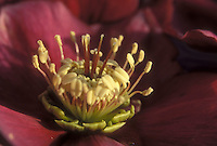 Helleborus red closeup stamens & pistils GR20997 flower hellebore, pollination educational