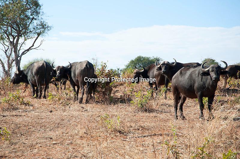 Cape Buffalo Grazing in Chobe National Park in Botswana in Africa