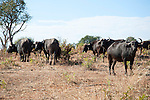 Cape Buffalo Grazing in Chobe National Park in Botswana in Africa
