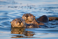 Enhydra lutris nereis, Sea otter, Two sea otters eye the photographer,0,, Elkhorn Slough National Estuarine Research Reserve, Moss Landing, California, USA