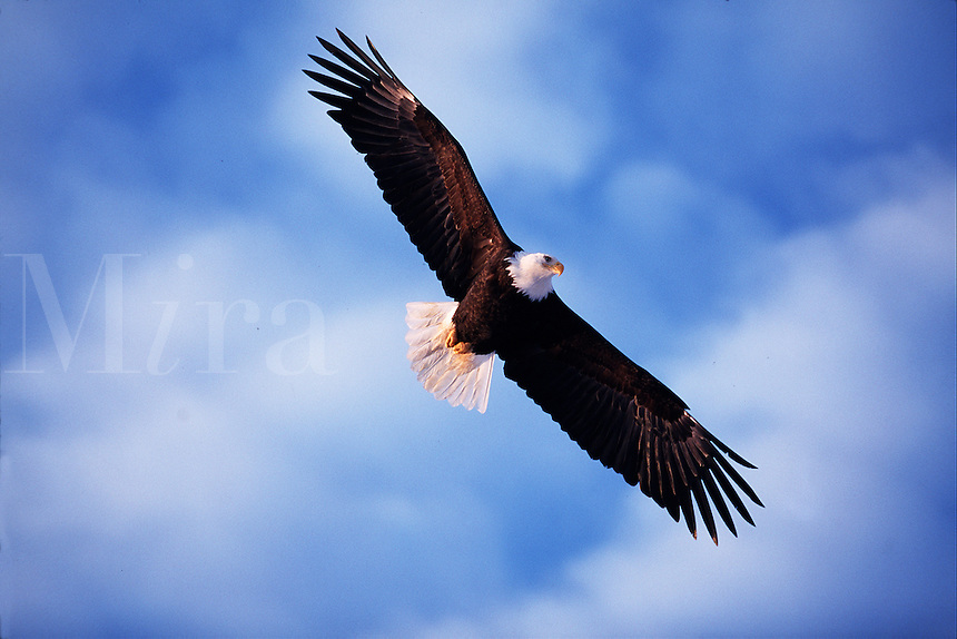 A Bald eagle (Haliaeetus leucocephalus) in flight.